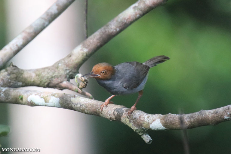 Red-headed tailorbird (Orthotomus ruficeps) eating a caterpillar