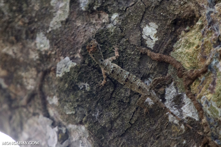 Camouflaged flying dragon in the Borneo rainforest canopy
