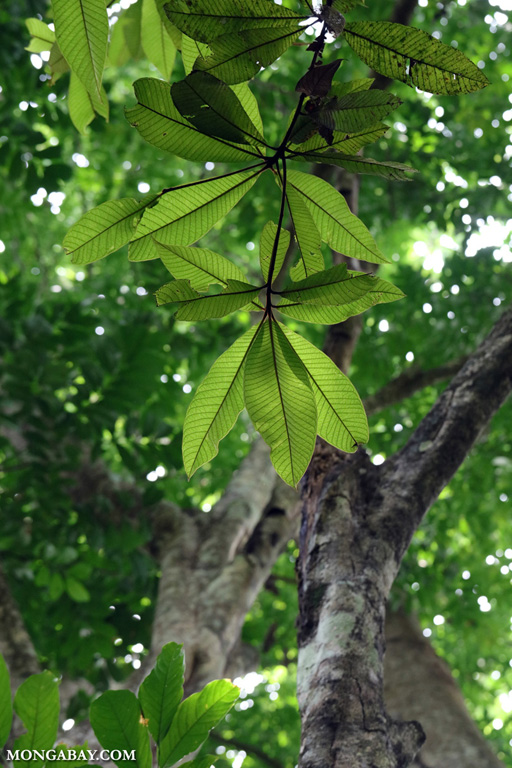 Green leaves of the rainforest canopy