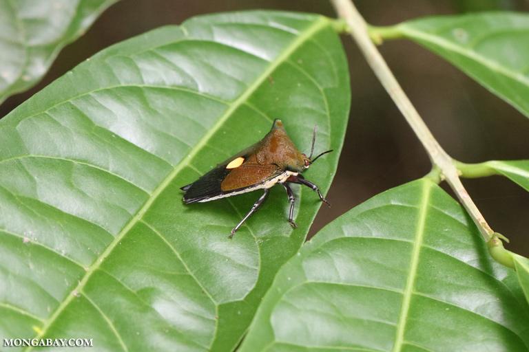 Shield bug in Borneo
