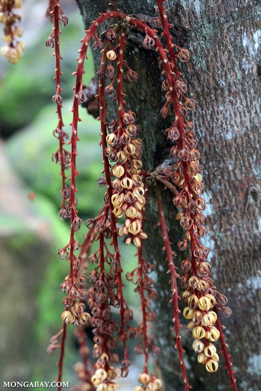 Kelumpang Sarawak (Sterculia megistophylla) flowers