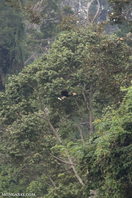 Rhinoceros Hornbill (Buceros rhinoceros) in flight