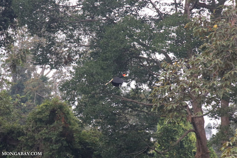 Rhinoceros Hornbill (Buceros rhinoceros) in flight