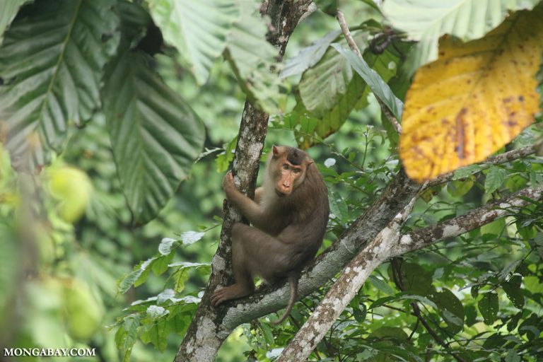Long-tailed macaque in the canopy