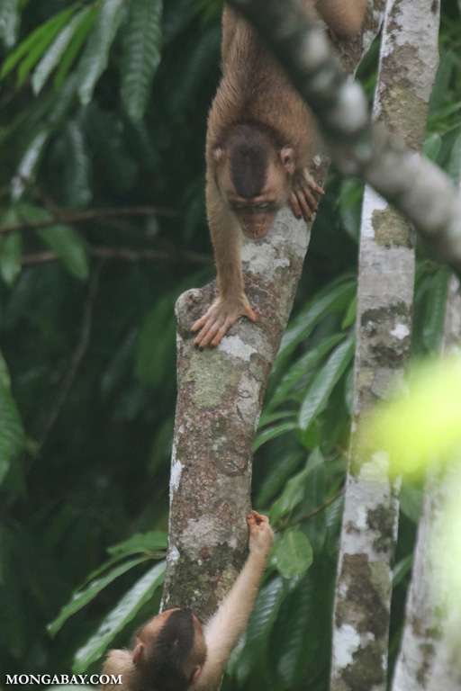 Long-tailed macaques fighting in the canopy