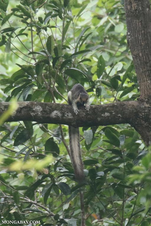 Giant tree squirrel in Borneo