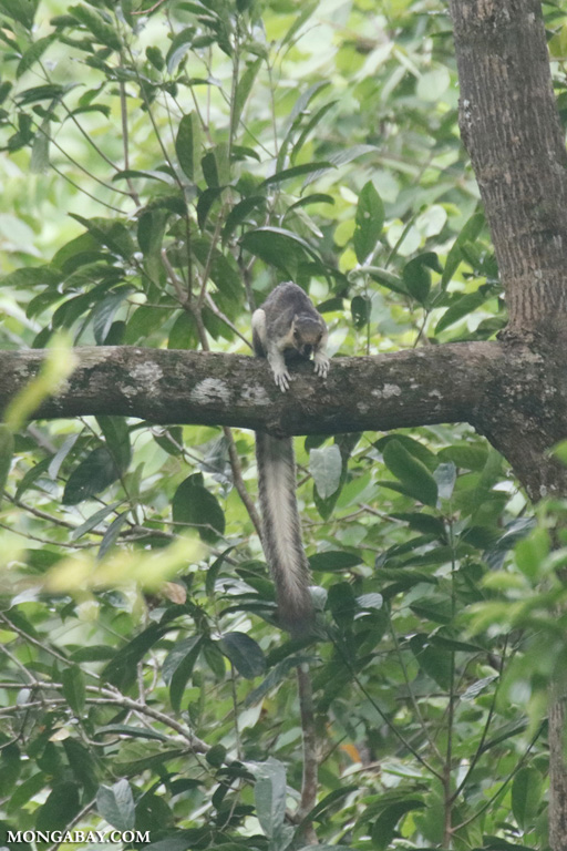 Giant tree squirrel in Borneo