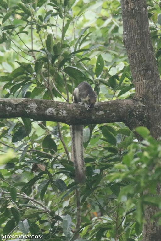 Giant squirrel in Borneo