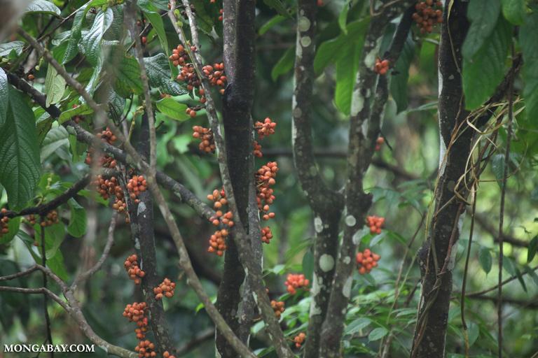 Orange fruit in Borneo