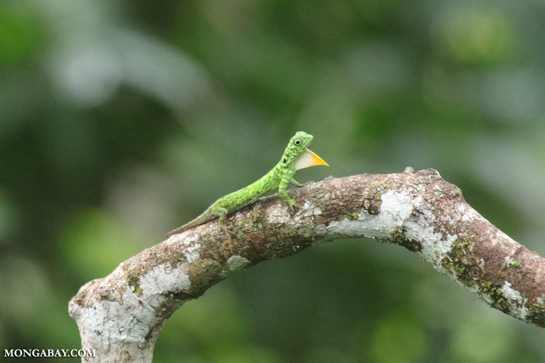 Green flying dragon displaying its orange dewlap