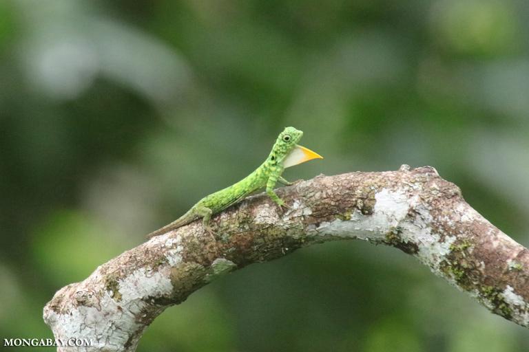 Green flying dragon displaying its orange dewlap