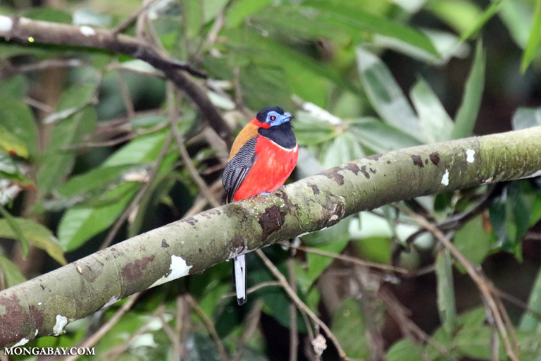 Red-naped trogon (male)