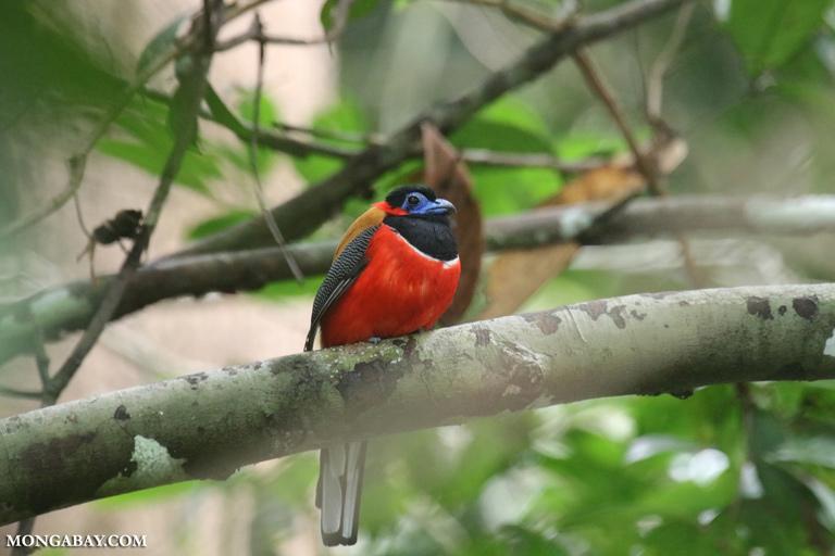 Red-naped trogon