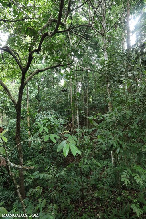 Sabah rainforest understory