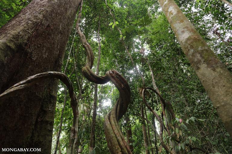 Borneo liana
