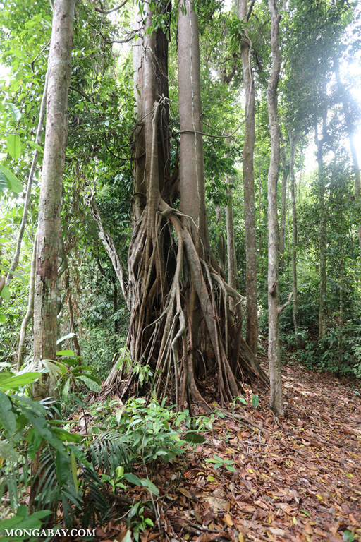 Strangler fig in Borneo