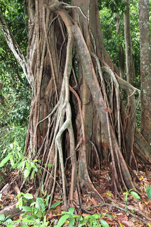 Strangler fig in Borneo