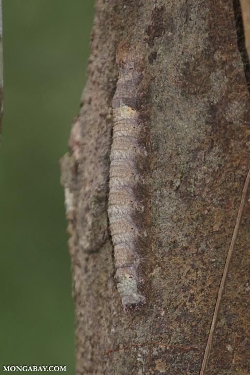 Camouflaged caterpillar