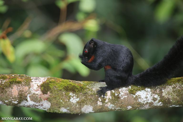 Black squirrel in Borneo