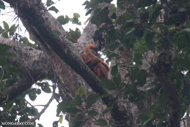 Giant red flying squirrel in Borneo
