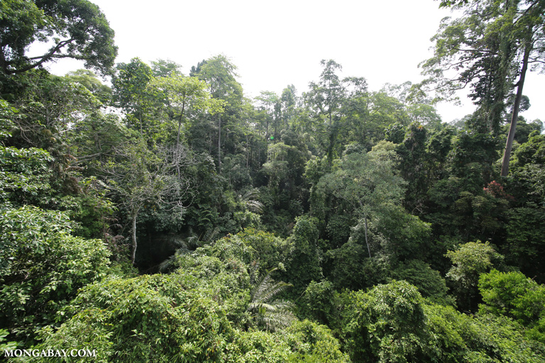 Dipterocarp forest in Borneo