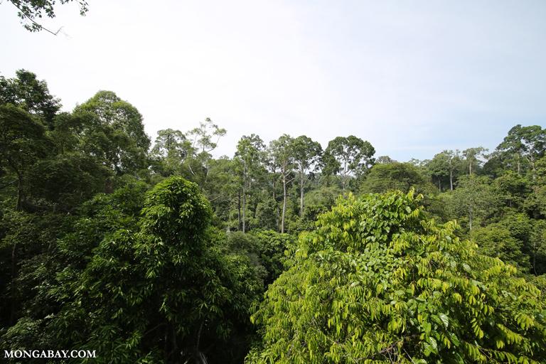 Dipterocarp forest in Borneo