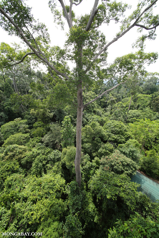 Sepilok rainforest