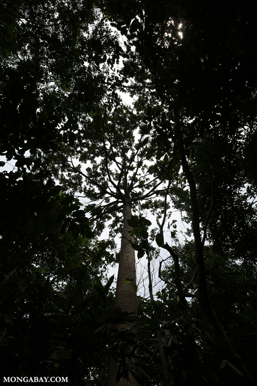 Sepilok rainforest