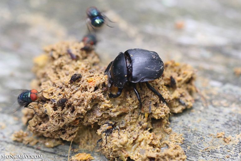 Dung beetles and flies feeding on monkey droppings