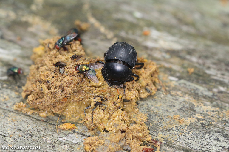 Dung beetles and flies feeding on monkey feces