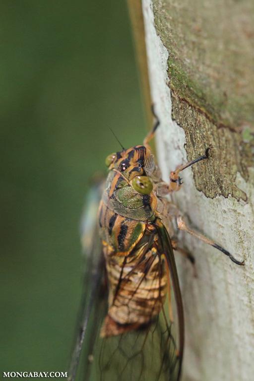 Cicada in Borneo