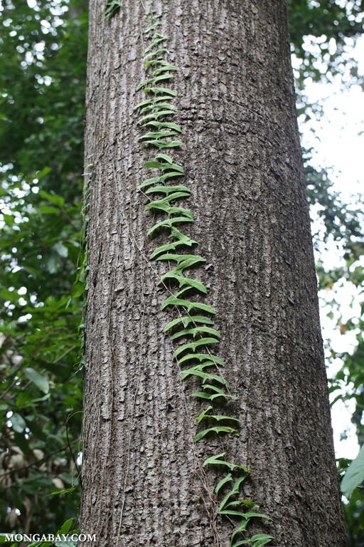 Vine on a tree trunk