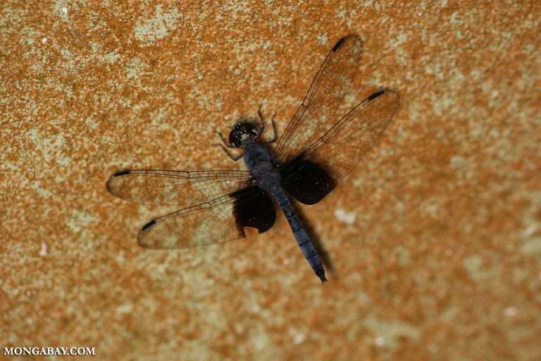 Blue dragonfly in Borneo