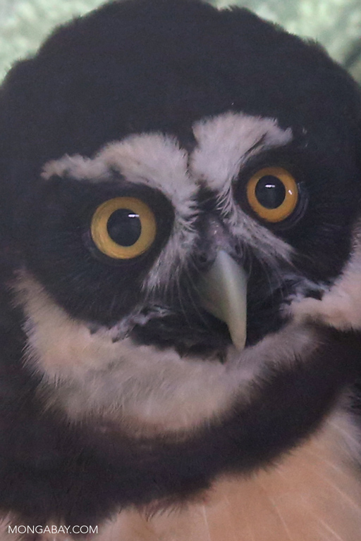 Rescued spectacled owl (Pulsatrix perspicillata)
