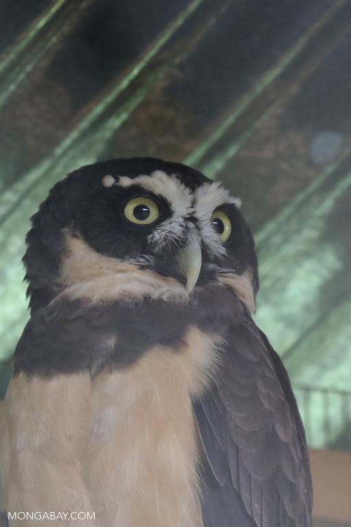 Rescued spectacled owl (Pulsatrix perspicillata)
