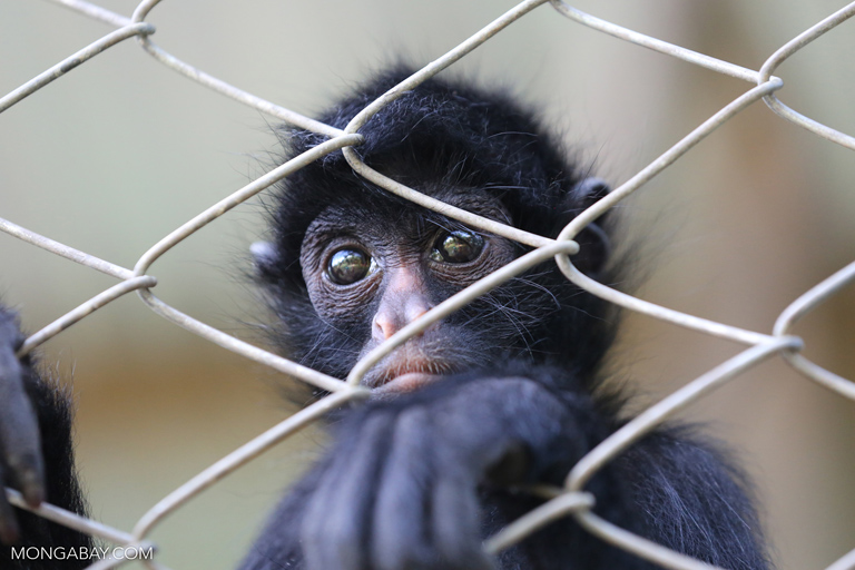 Spider monkey at a rescue center