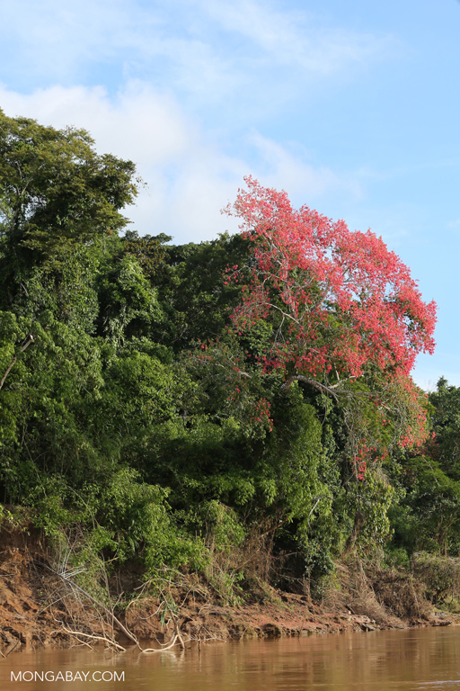 Flowering kapok tree along the Tambopata river
