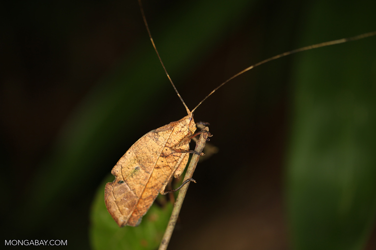 Brown katydid