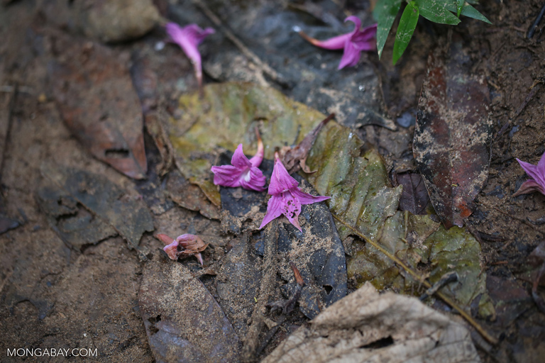 Purple flowers on the floor of the Amazon rainforest