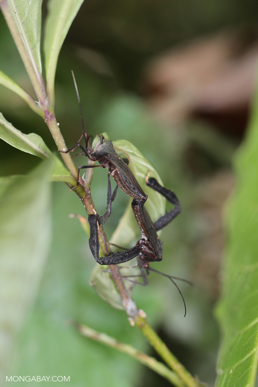 Mating shield bugs