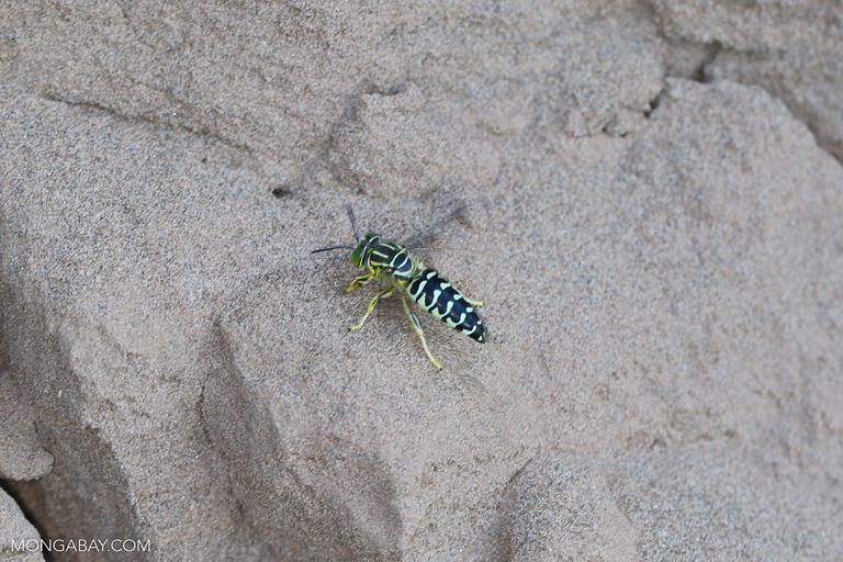 Greenish yellow wasp