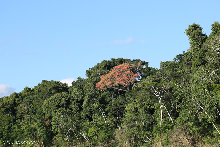 Flowering kapok tree along the Tambopata river
