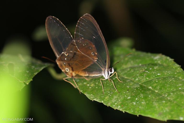 Transparent butterflies mating