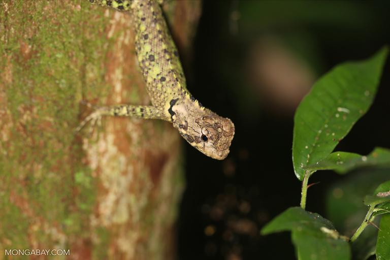 Tree runner (Plica plica)