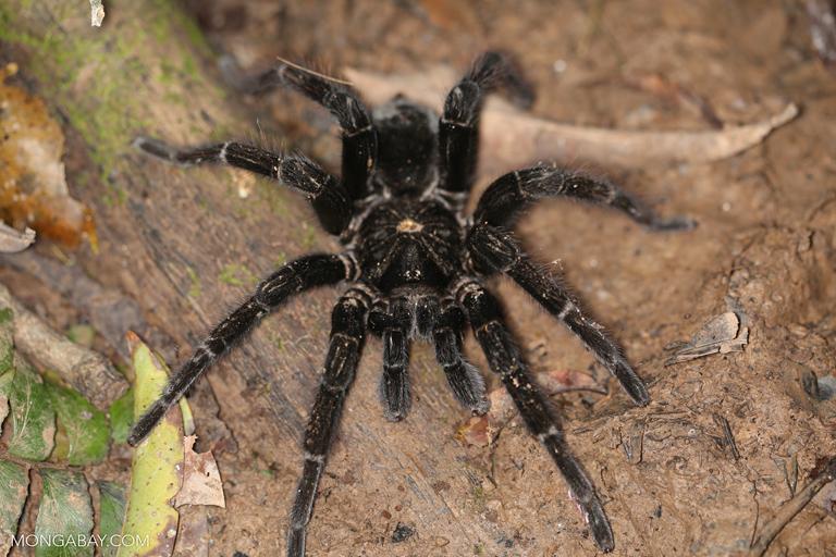 Peruvian tarantula