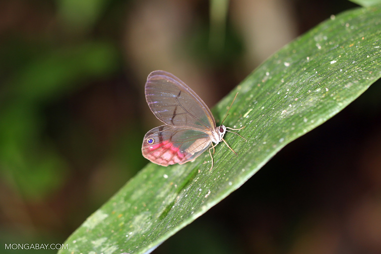Glass Wing Butterfly (Cithaerias merolina)