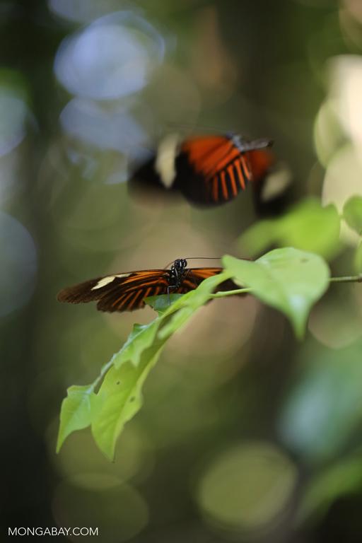 Mating butterflies