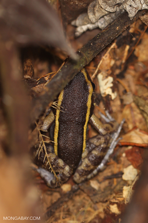 Gold-striped Frog (Leptodactylus lineatus)