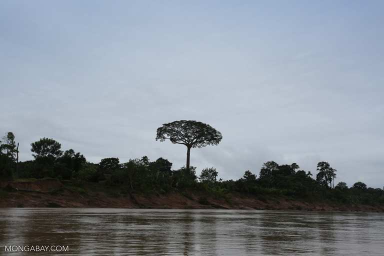 Giant isolated kapok tree