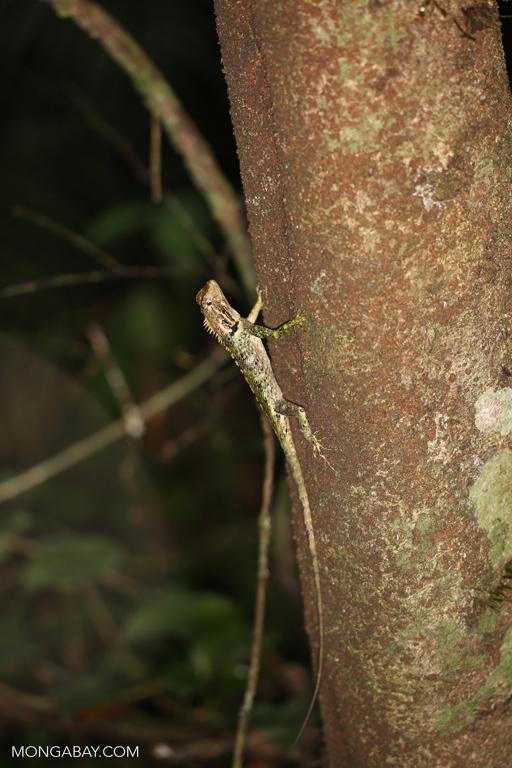 Tree runner (Plica umbra)